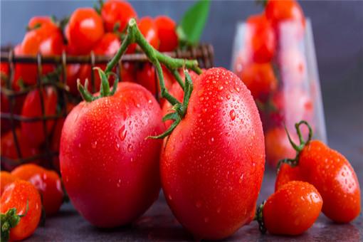 秋天种植番茄,怎么才能高产?