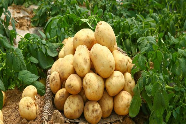 土豆开花了,如果不剪掉对土豆有没有影响?